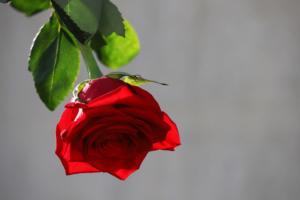 rose2 2355