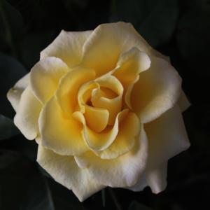 rosejauneA2