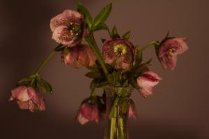rosenoelbis